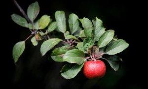 apple1-th-c2-thuiq-43e1220f33b1c0fd_large